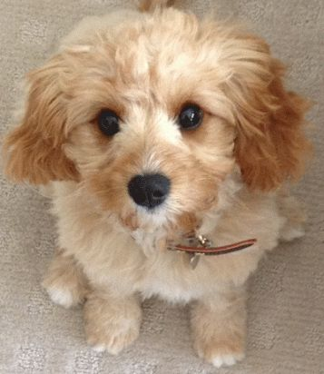 Cavoodle non shedding, non hyper, good with kids. Medium sized.