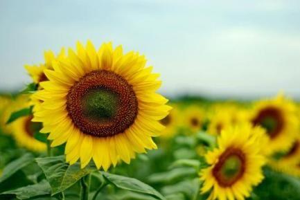 România, cel mai mare producător european de floarea-soarelui, în 2015 www.antenasatelor.ro/știri/55-agricultura/18660-românia,-cel-mai-mare-producător-european-de-floarea-soarelui,-în-2015.html