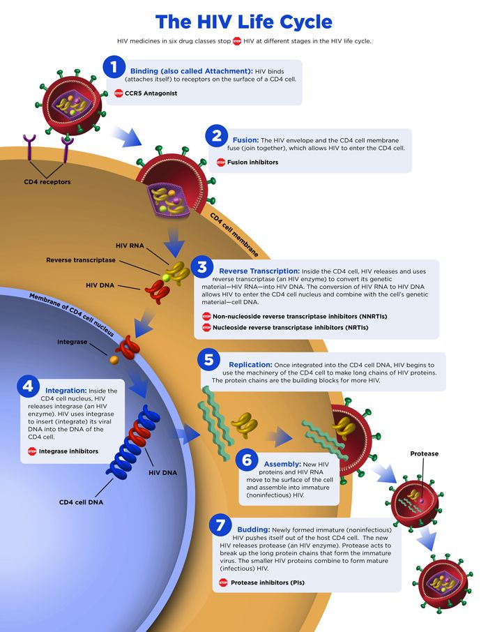 HIV Life Cycle Image