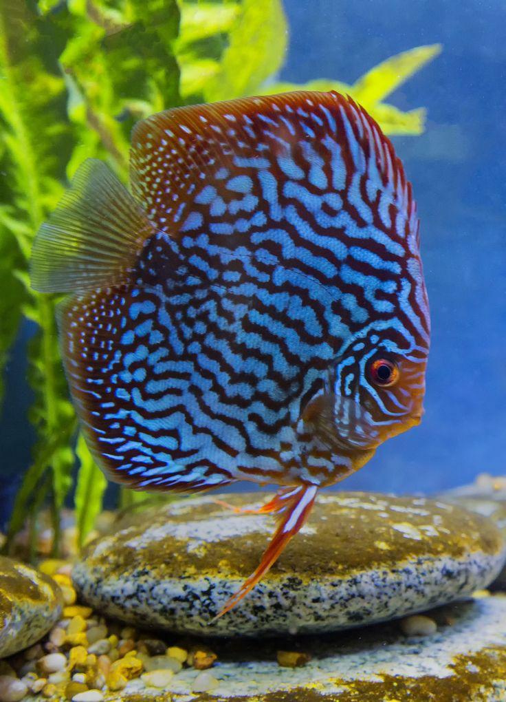 Best 25 Discus Ideas On Pinterest Discus Fish Aquarium