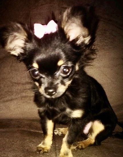 1000 Ideas About Long Haired Chihuahua Puppies On