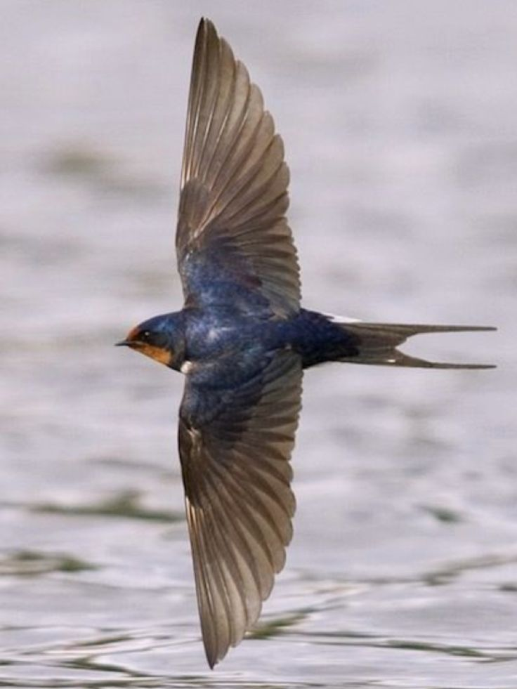 Barn Swallow, Hirundo rustica. It uses man-made structures to breed so it has spread w/human expansion. This bird lives in close assoc. w/humans, & its insect-eating habits mean that it is tolerated by man