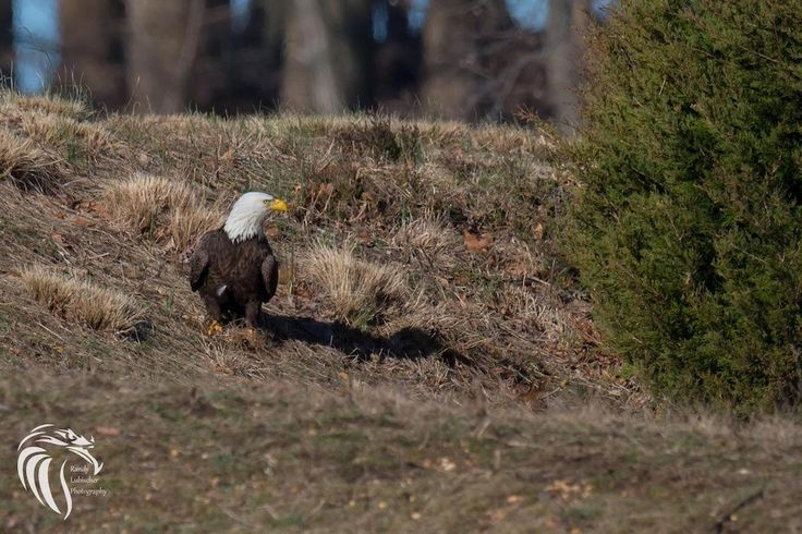 RGL_Photography posted a photo:  SPOTLIGHT ON THE BALD EAGLE'S ALL-AMERICAN COMEBACK IN NEW JERSEY  by Lindsay McNamara, Communications Manager  June 20th 2016  In 1985 — just 31 years ago — a single bald eagle nest remained in the state of New Jersey. In 2015, CWF and partners monitored 161 nests throughout the Garden State. Just this year (as of June 20, 2016), over 50 young eagles have already fledged from their nests! What sparked this All-American comeback of the United States' National…