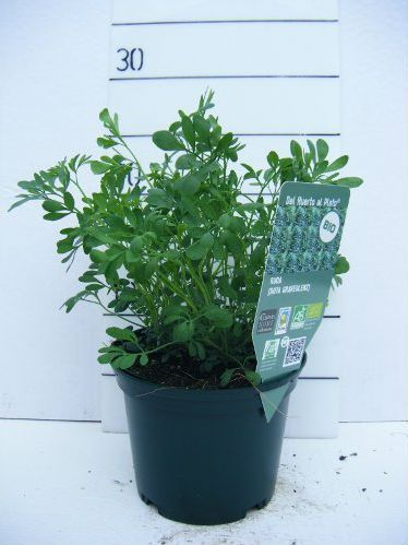 Ruda (Ruta graveolens) en Maceta de 10,5 cm, de El jardín en su puerta. Puedes conseguirla en http://magia.esoterik-a.com/producto/ruda-ruta-graveolens-maceta-105-cm/