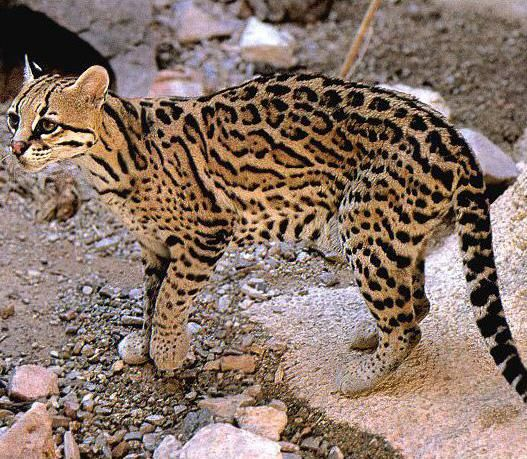 I think I shall declare that ocelots have the most beautiful coat of all the big cats.