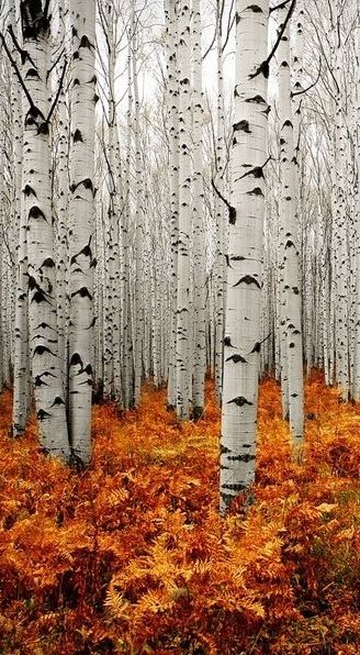 This autumn leaf photo is absolutely stunning! The bright contrast of the orange and rust autumnal leaves against the stark black and white of the aspen trees is truly magical!