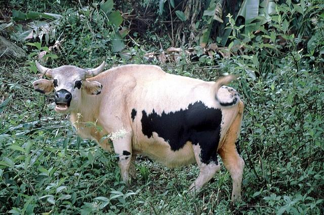 Mithun/domesticated Gaur x domestic cattle hybrid ...