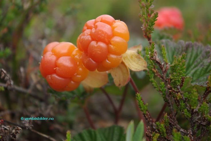 Multe (cloudberry) - P_05.08.2012 - http://verdalsbilder.no/cpg1410/albums/userpics/10004/Multe.JPG