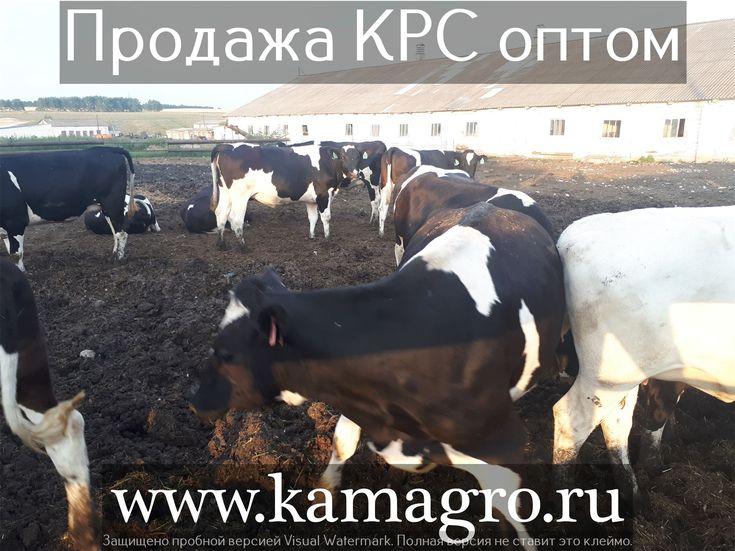 Мы занимаемся продажей  племенных и товарных пород КРС  живым весом по Россий и СНГ!   Наши контакты ООО КамАгро - поставщик КРС по РФ и СНГ :  -Сайт : www.kamagro.ru  -WhatsApp : +7 (965) 6176005 -Skype : hfbkmm -Viber : +7 (965) 6176005 Мы занимаемся продажей  племенных и товарных пород КРС  живым весом ! За 5 лет было реализовано более 15 000 голов скота по Россий и СНГ! С нами сотрудничуют более 1500 фермеров и агроферм. Стоимость зависит от веса и возраста животного. Мы перевозим КРС (…