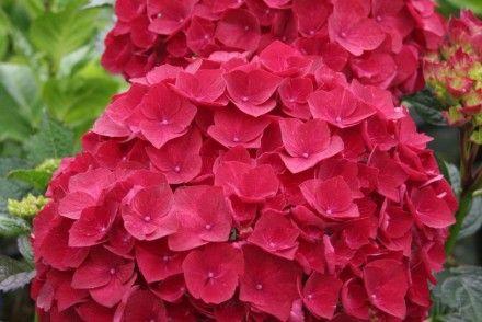 Ortensia Magico Rosso Rubino, hydranfgea fiori rossi, piante in stile liberty, Kolster, nuovi impianti