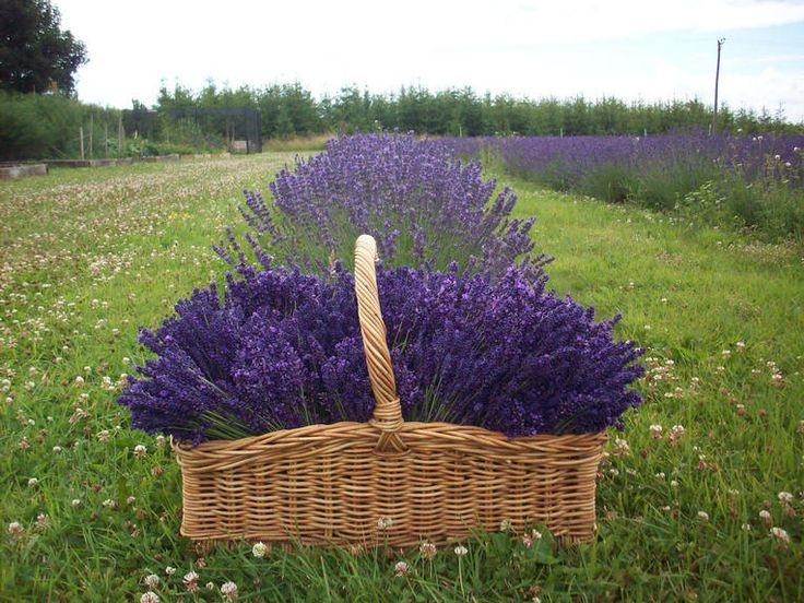 Jacobs Field Lavender - Vibrant Royal Velvet harvested in July - Interesting ethos behind this farm - land share to benefit local community