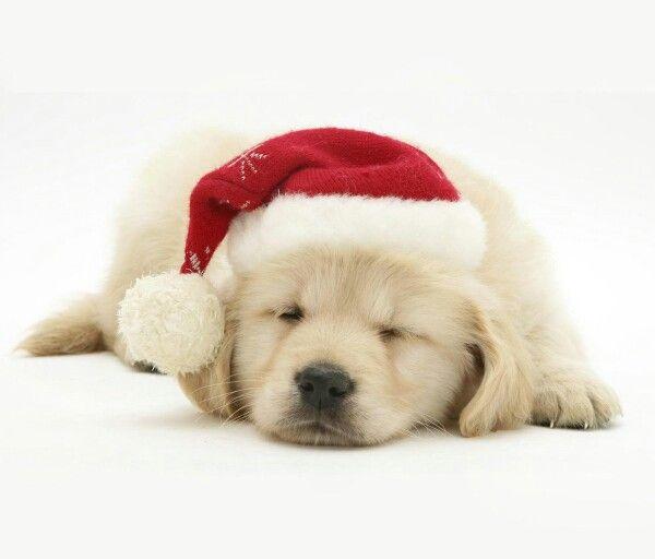 Golden Retriever Christmas Puppy | pups | Pinterest