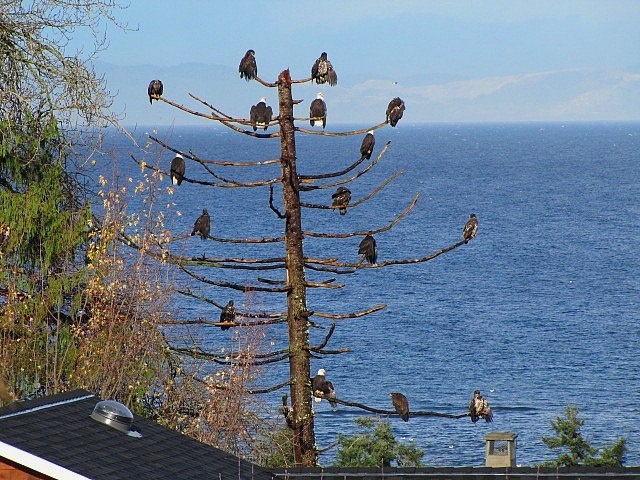 Many, MANY eagles in a tree just outside of Qualicum Beach (Vancouver Island, BC). Photo by Pauline Smith.