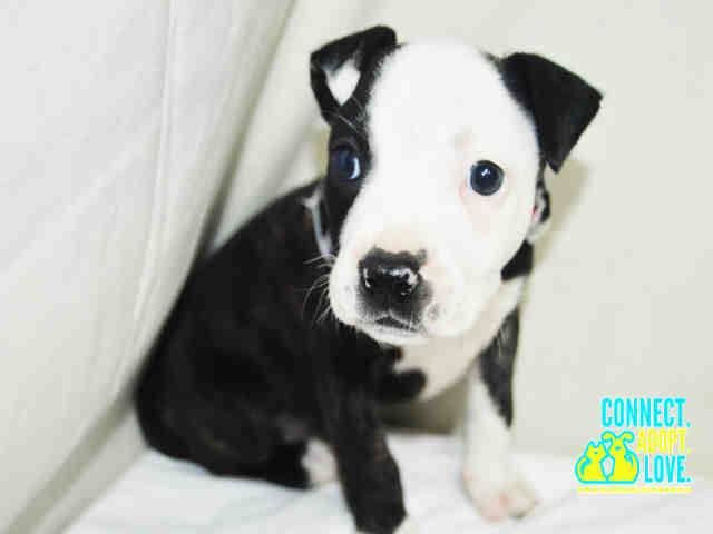 NINA (A1701154) I am a female black brindle and white American Bulldog. The shelter staff think I am about 13 weeks old and I weigh 3 pounds. I was confiscated and I may be available for adoption on 06/03/2015. Miami Dade https://www.facebook.com/urgentdogsofmiami/photos/pb.191859757515102.-2207520000.1433171825./985144394853297/?type=3&theater