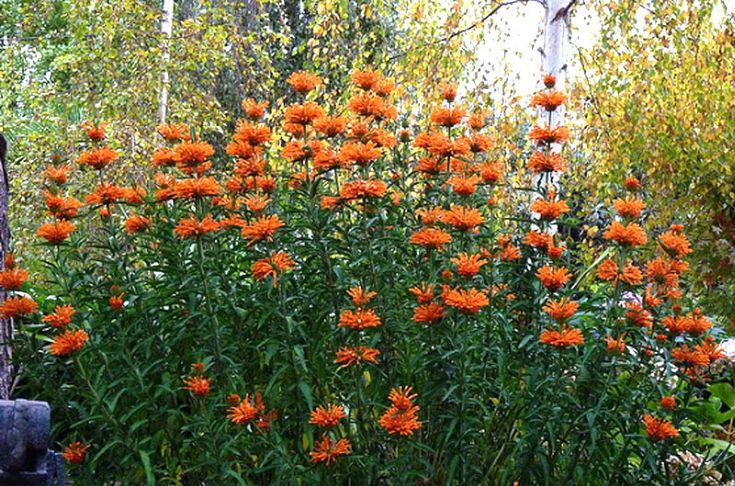 "Leonotus leonurus, ""Lion's Tail"".  Blooms late summer early fall.  5't x 3'w.  CU:   http://www.flickr.com/photos/needleloca/6266841019/"