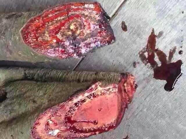 Dragon blood Tree Indonesia