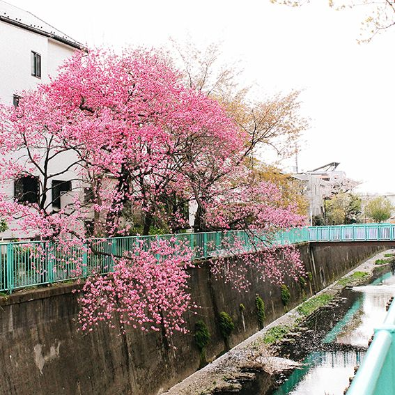 cherry blossom season (tokyo) #travelcolorfully Someday I will see this.