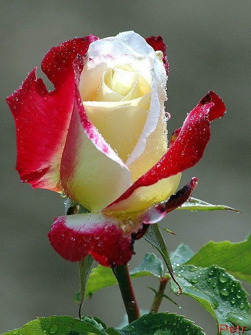 ~Double Delight Rose