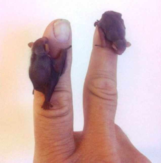 Tiny bat babies..........If your Mom won't let us have cute lil puppies ask her for these!!!! Bet she will change her mind. Or hairless rats!!!