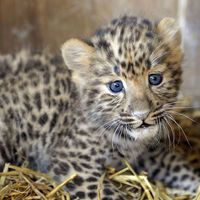 La panthère de l'Amour, espoir des espèces menacées, selon le WWF