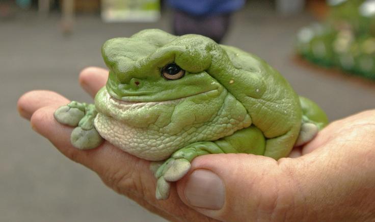 White's dumpy tree frog.  Kept us awake at night!!!!