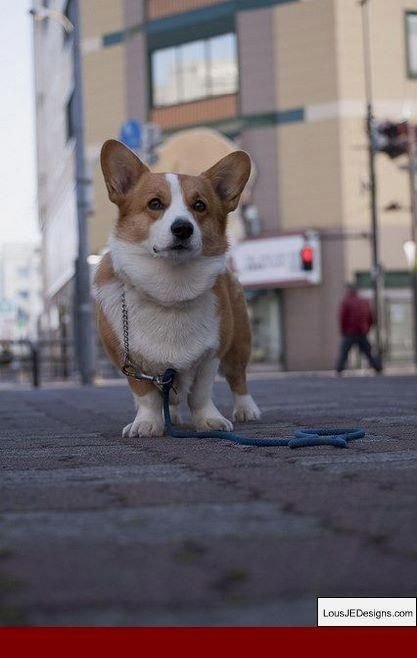 Things We Like About The Fun Corgis Puppies Pembrokewelshcorgi