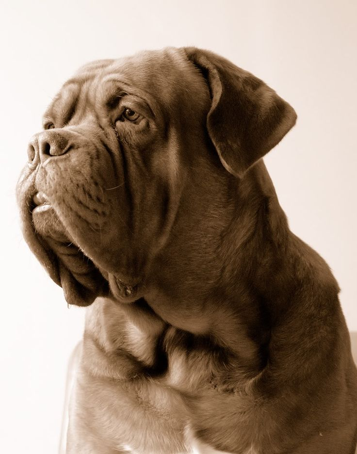 Dogue de Bordeaux - French Mastiff . Love this dog, but not the drooling part lol. I seen this breed in Turner and Hooch, sad, funny movie.
