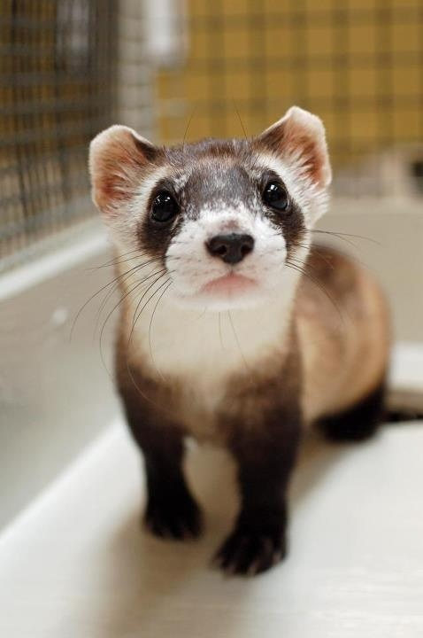 Black-footed ferret | I love Animals | Pinterest
