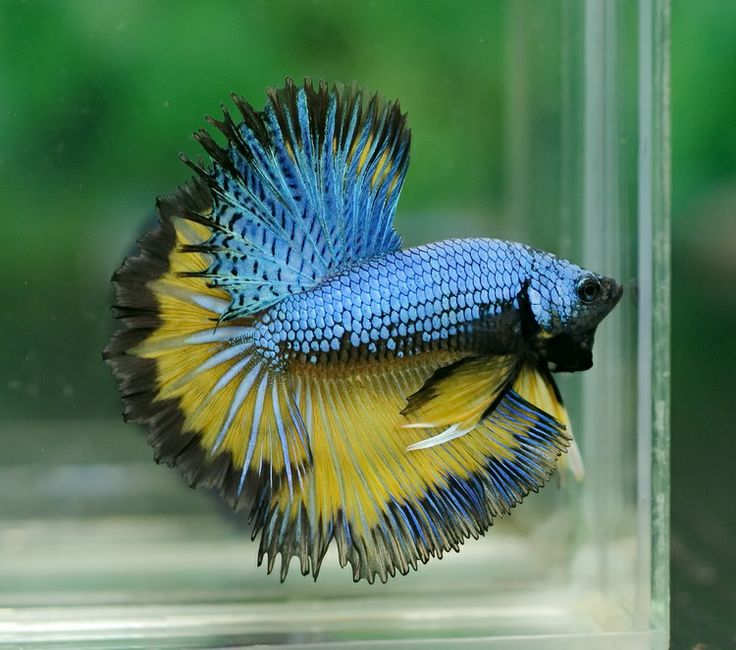 78 best images about bettas on pinterest black gold for Betta fish price