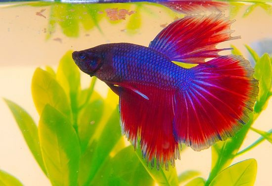 Breed betta fish betta fish siamese and other for How to breed betta fish