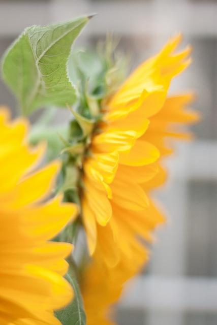 Provence sunflowers.