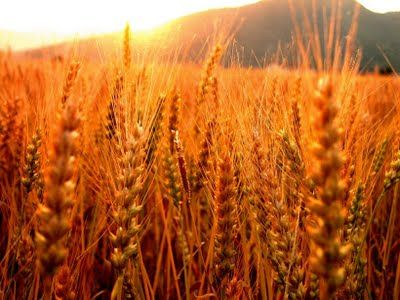 Wheat was brought from the Europeans to the Americas. They were used as a source of food and later as a cash crop, meaning to make money. They ended up providing jobs for many people and making up plantations later on.