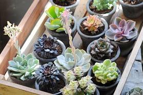 Succulent. Deze vetplant dankt haar naam aan het Griekse woord succus, wat sap betekent. En terecht, want deze plant is gespecialiseerd in het vasthouden van water.