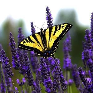 Lavender in folklore...    In traditional methods of gardening it was once thought that by planting lavender close to the bed that contained crocus bulbs it would repel any scavenging birds.