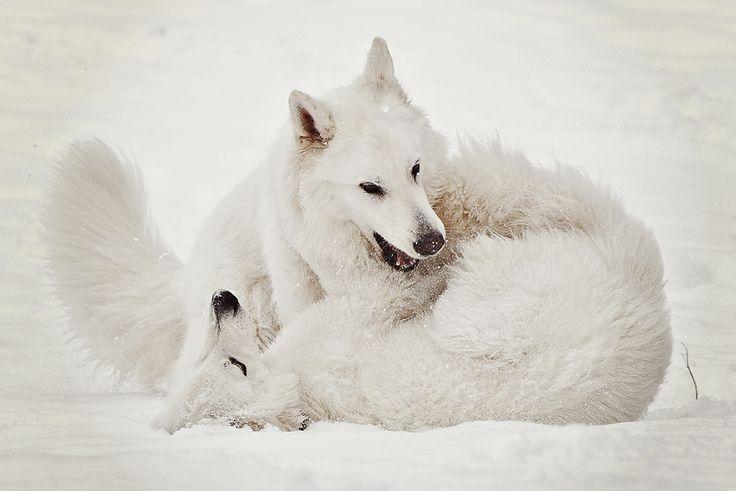 Vom Zauber weißer Schäferhunde 2016 Betörende Schönheit des Weißen Schäferhund nmöglich, seiner weißen Magie zu widerstehen! – Lassen Sie sich von der betörenden natürlichen Schönheit des Weißen Schweizer Schäferhundes verzaubern! Begleiten Sie ihn das ganze Jahr und genießen Sie die Bilder seiner Lebensfreude und Anmut durch die Jahreszeiten! Schenken Sie sich unvergeßliche Momente und lassen Sie sich in die verzauberte Welt des Schweizer Weißen Schäferhundes entführen. Erliegen Sie der…