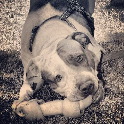 For the Love of Pitbulls<3