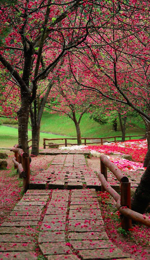Cherry blossoms at the Formosan Aboriginal Culture Village in Yuchi Township, Nantou, Taiwan • photo: Ernesto Huang on Flickr