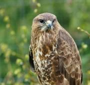 The common buzzard is a medium sized raptor, most commonly found throughout Europe and Russia. Despite rapid declines in the UK's common buzzard population numbers a couple of hundred years ago, the common buzzard is now the most common bird of prey in Britain.