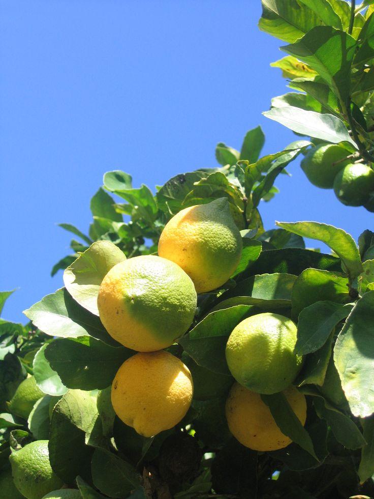Lemon Tree Care | Garden Guides