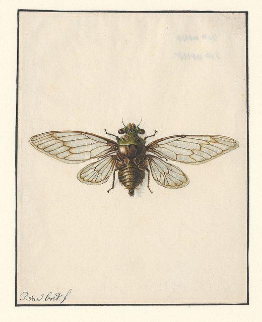 Cicade - Fidicina acuta by peacay, via Flickr