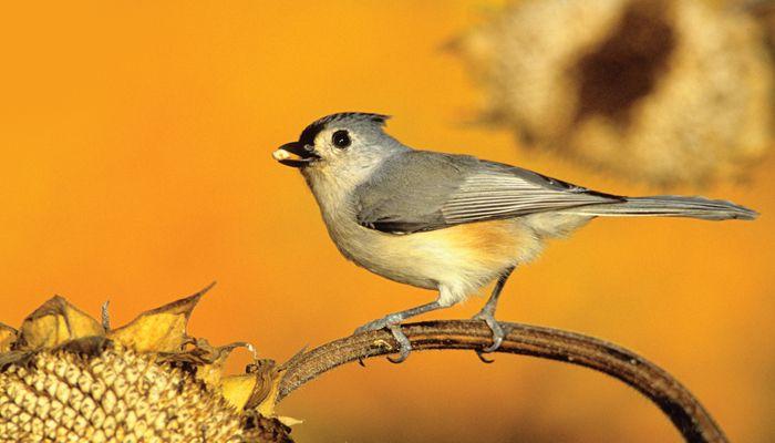 Tufted Titmouse, Bird Photo, Wild Birds Unlimited, WBU