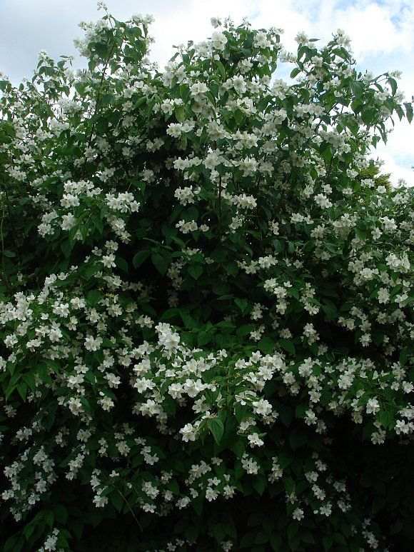 """""""Renewal Pruning"""" Mock Orange: Cut unhealthy-looking mock orange shrubs to the ground, leaving approximately 1 to 2 inches of stem poking out of the ground. Known as """"renewal pruning,"""" this method of pruning rejuvenates struggling bushes. Rather than focusing on flowering, they will put their efforts into new growth. The result is a thicker, fuller bush."""