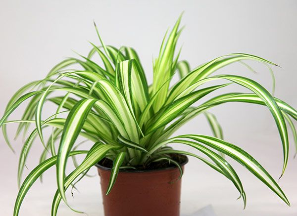 close up of spider plant - Google Search