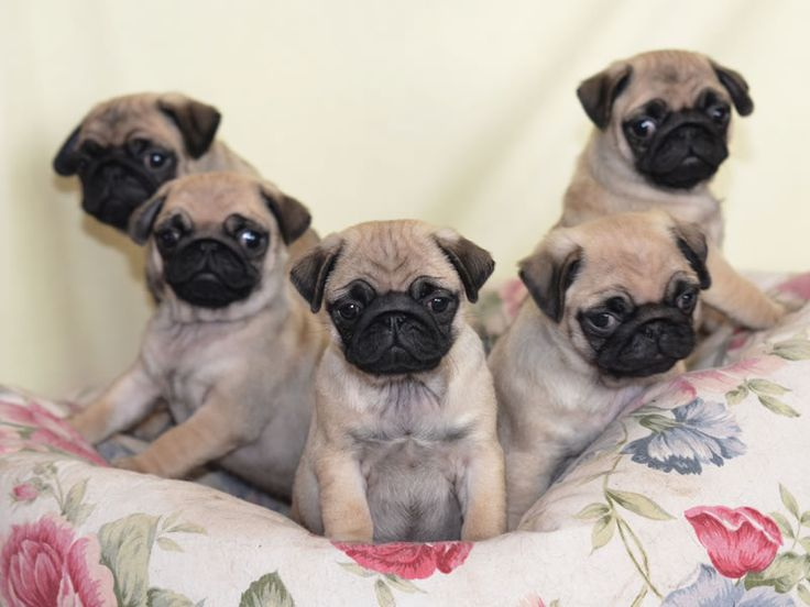 Pug Wallpaper, Screensaver, Background. Cute Pug Puppies
