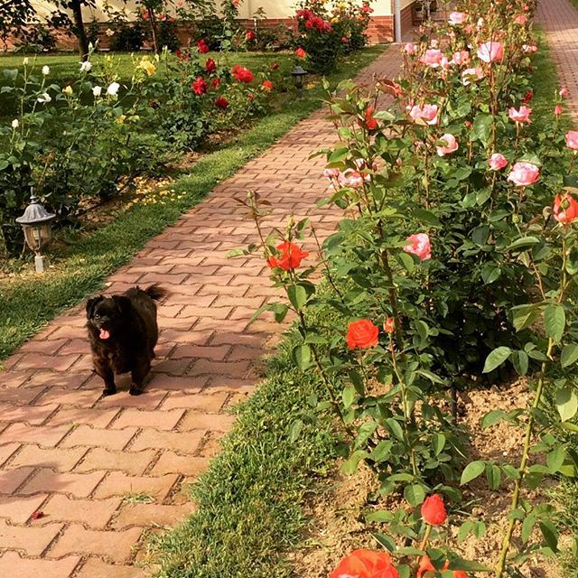 #valcea #roses #lazy #dog