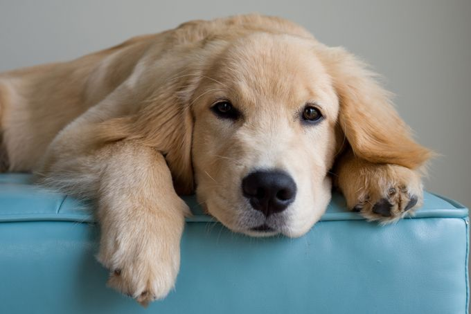 Golden Retriever dog names for male and female Golden Retrievers; popular names for Golden Retrievers.