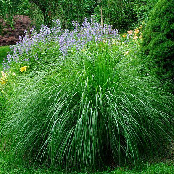 40 best landscape ideas plants images on pinterest for Outdoor ornamental grasses