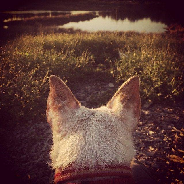 Luna Lookout #luna #daylightsavings #dogsofsydney #dogs #dogsears #dogsofaustralia #dogsofinstagram #dogs_of_instagram #sunsetsydney | by Jo Lyons Photography