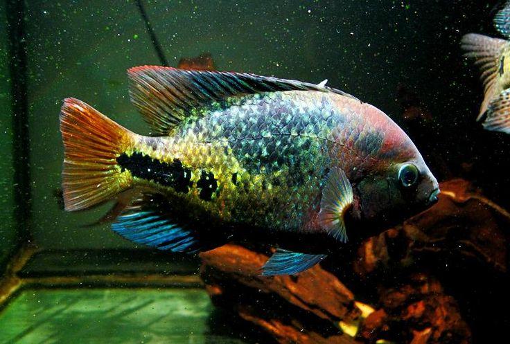 Cichlasoma Synspilum ปลาหมอส ปลาสวยงาม ปลาน ำจ ด