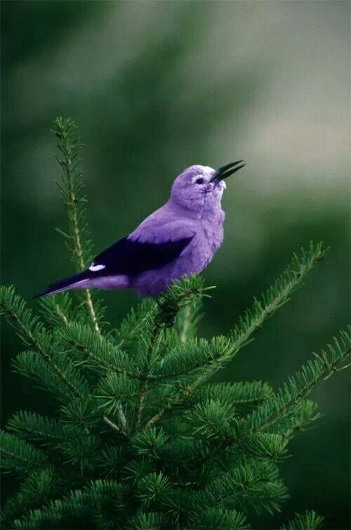 """""""Birds sing after a storm; why shouldn't people feel as free to delight in whatever remains to them?"""" - Rose Kennedy: Purple Bird, Nature, Purple Passion, Pretty Birds, Color Purple, Things Purple, Beautiful Birds, Animal"""